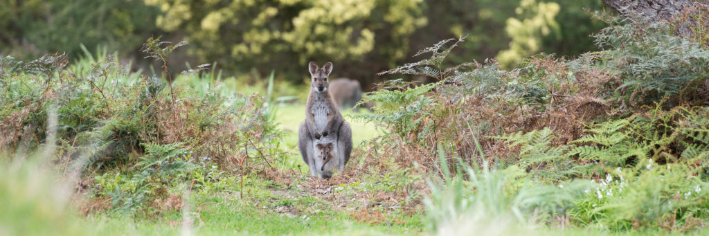 Australian Wildlife Wallabies